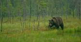 Free large adult brown bear walking in the forest at night