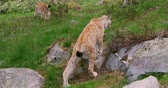 following : Following two european lynxes walking in the forest