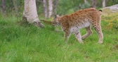 csúcs : Cute young european lynx walking in the forest a summer evening