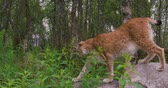 csúcs : Close-up of a european lynx walking in the forest at summer Stock mozgókép