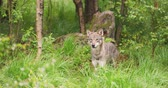 vonící : Curious grey wolf looking after prey in the dense summer forest