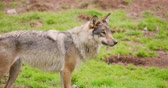 alerta : Wolf standing on field in forest Vídeos