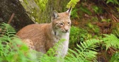 segundos : Lynx sitting amidst plants in forest