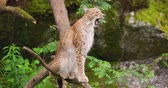állat téma : Lynx yawning while sitting on tree in forest