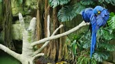vegetação : A pair of brilliantly blue colored macaws in a rainforest habitat perched on a branch of a dead tree preening themselves. Vídeos