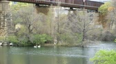 скрестив : Swans on a river running under an old railway bridge. Стоковые видеозаписи