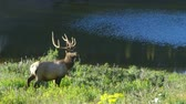 lazily : A mature bull elk bathed in morning sunlight walks slowly towards a small mountain lake then stops and turns as if to show off his majestic antlers. Stock Footage