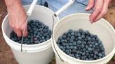 yaban mersini : Buckets full of freshly picked blueberries tied around a the waist of a woman. Stok Video