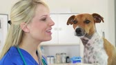 tomada : A pretty veterinarian playful interaction with terrier dog patient.