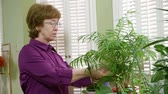 volný čas : A mature woman caring for her house plants trims a few dead leaves.