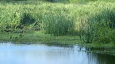 raio de sol : Marsh or swamp grasses and bulrush or cattail reeds of a wetlands area.