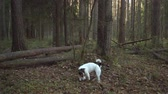 comando : Dog playing with stick in the autumn forest Stock Footage