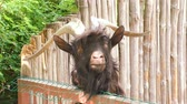 zoológico : An animal of a goat with big horns.