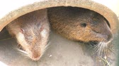 kahverengi : Two muskrats sit in their dwelling and doze in the sun. Stok Video