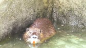 bóbr : Muskrat floats in the water close up.