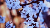 abricot : Beautiful spring branch of Apricot tree in bloom. Armeniaca vulgaris blossoming flowers closeup on blue sky background. Macro fruit plant garden in April. Springtime delicate orchard freshness aroma.