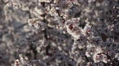 abricots : Beautiful spring branch of Apricot tree in bloom. Armeniaca vulgaris blossoming flowers closeup on blue sky background. Macro fruit plant garden in April. Blooming branch on sunset close up bokeh Vidéos Libres De Droits