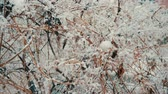 виноград : Branches of decorative grapes under the snow. Winter snowfall. Twigs braided fence