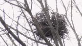 марш : Raven twig nest at the top of the maple tree in early spring at daylight. Telephoto view from below. Стоковые видеозаписи
