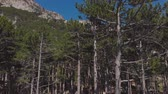 camera descends into a pine forest in the mountains, aerial shot