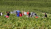 európa : Cramant, France - September 11, 2017: Harvest of the Champagne grapes with many grape pickers.