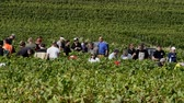 Cramant, France - September 11, 2017: Harvest of the Champagne grapes with many grape pickers.