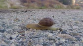 caracol : Snail crossing road pavement macro time lapse.