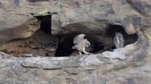 boynuzlu : California Great Horned Owlet flaps wings in cliff cave nest as Mother Owl watches.  Shot in the Santa Susana Pass area of the west San Fernando Valley area in Los Angeles. Stok Video