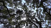 Spinning shot of California oak grove tree canopy with zoom in.
