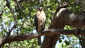 empoleirado : Sharp-shinned Hawk on tree branch at Corriganville Park in Simi Valley California.