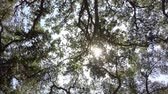 carvalho : Old California oak tree grove canopy spinning shot with zoom in. Stock Footage