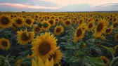 fiori blu : panorama of blooming sunflowers on a background sunset
