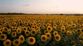 flying quadcopter along the flowering sunflower on the background of a beautiful sunset