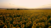 flying quadcopter over a field of flowering sunflower on the background of a beautiful sunset Stock Footage