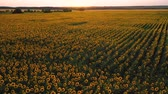 girasoli : Top view of a field of flowering sunflower on the background of a beautiful sunset Filmati Stock