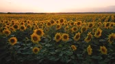girasoli : quadcopter takeoff over a field of flowering sunflowers on the background of a beautiful sunset
