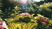 sesleri : Pink flowers in the garden sunlight. Heavens garden Stok Video