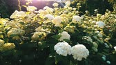 sesleri : White hydrangea flowers in the garden sunlight. Heavens garden