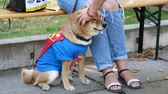 shiba : Lovable doggie, like Hatiko licks a mans hand. Cosplay of animals. Superheroes suits concept