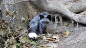 лиса : Artificially breed dark gray fox. Fox sits and sniffs near the tree