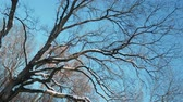 assustador : Panoramic shot of a big dry tree against blue sky. Winter landscape. Family tree concept