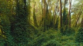 чаща : Fly through the thickets of mysterious forest at sunset. Aerial footage