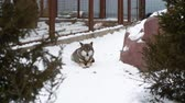 predador : Beautiful gray wolf lies on the snow at the zoo. Canine predator resting after the hunt