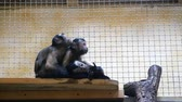 macaco : Three funny little monkeys in the aviary of the zoo. One ape licks garbage from the head of another Vídeos