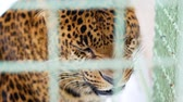 jaguar : Young jaguar aggressively snorts behind the cage. Feline predator in captivity. Close up