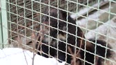 kahverengi : Nervous wolverine behind the cage at the zoo. Animal looks around and then runs off to another corner of the cage Stok Video
