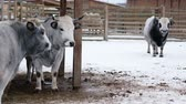fence : Bull and cows stand on a winter ranch and look into the camera Stock Footage