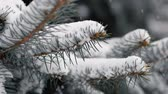 веточка : Dolly shot of snow-covered spruce branches during a snowfall