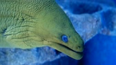 muraenidae : Green moray eel also known as gymnothorax funebris with blue eyes Stock Footage