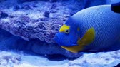 melek : Incredible angelfish also known as pomacanthus xanthometopon is looking for food at the bottom of a coral reef
